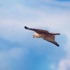 Soar High by Ryan Lemil Escarpe - Animals Birds ( bird, flight, fly, cebu, cebu photographers, philippines, birds )