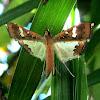 Bean Pod Borer Moth or Legume Pod Borer Moth