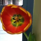 Yellow poplar (tulip)