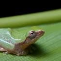 Variable Bush Frog Juv