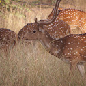 Chital or Cheetal