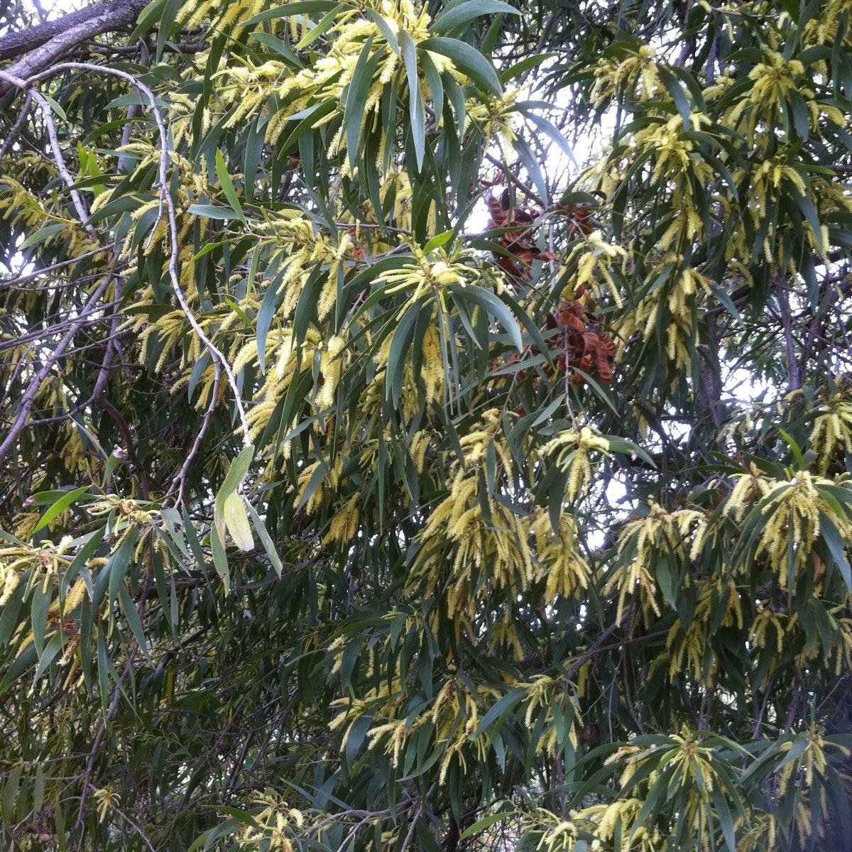 Brown salwood, Hickory wattle