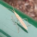 Mirid grass bug