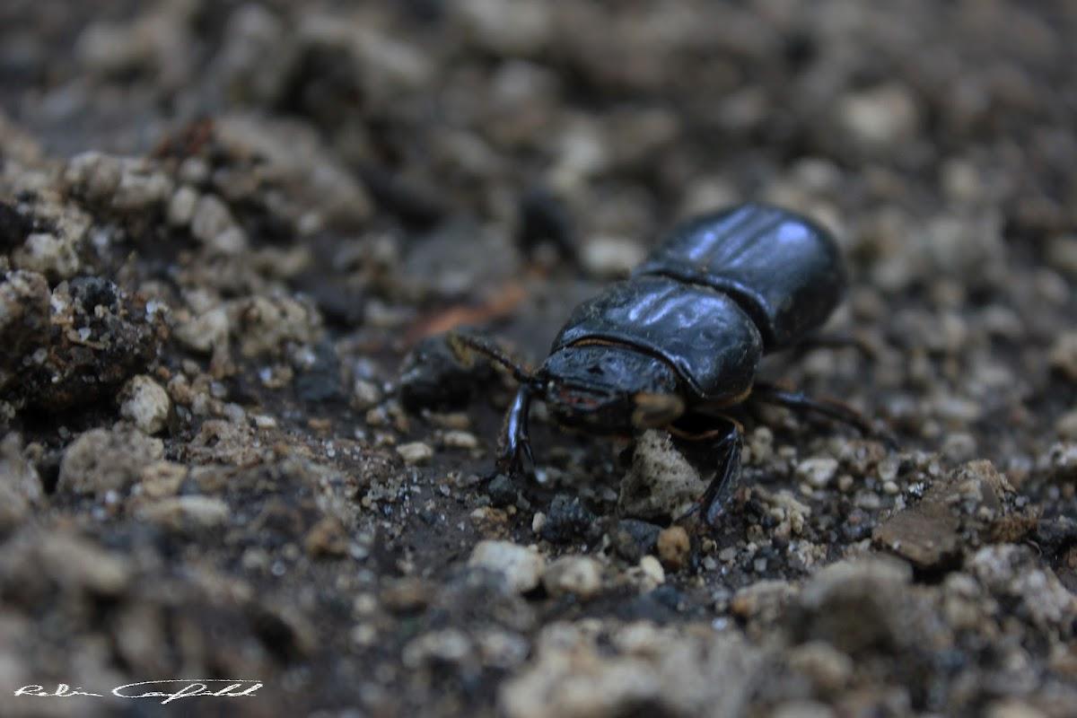 Jerusalem Beetle