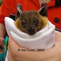 Horsfield's Fruit Bat