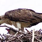 Eastern Osprey feeding juvenile