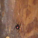 Southern black widow (female with egg sacs)