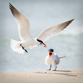 Bringing A Snack Home by Mike Trahan - Animals Birds ( bird, caspian tern, nature, waukegan harbor, feeding, il, mating )