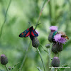 Narrow-Bordered Five-Spot Burnet