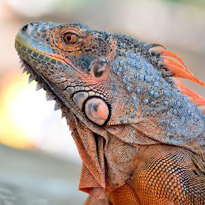 IguanaD71_4014.jpg