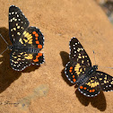 Easter marina Checkerspot
