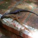 Aligator Lizard