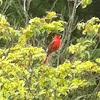 Northern Cardinal or Red Bird