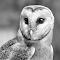 Barn owl bw 2.jpg
