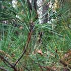 Short needle pine tree