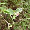 snowberry flower