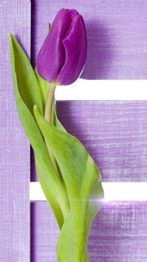 紫郁金香动态壁纸