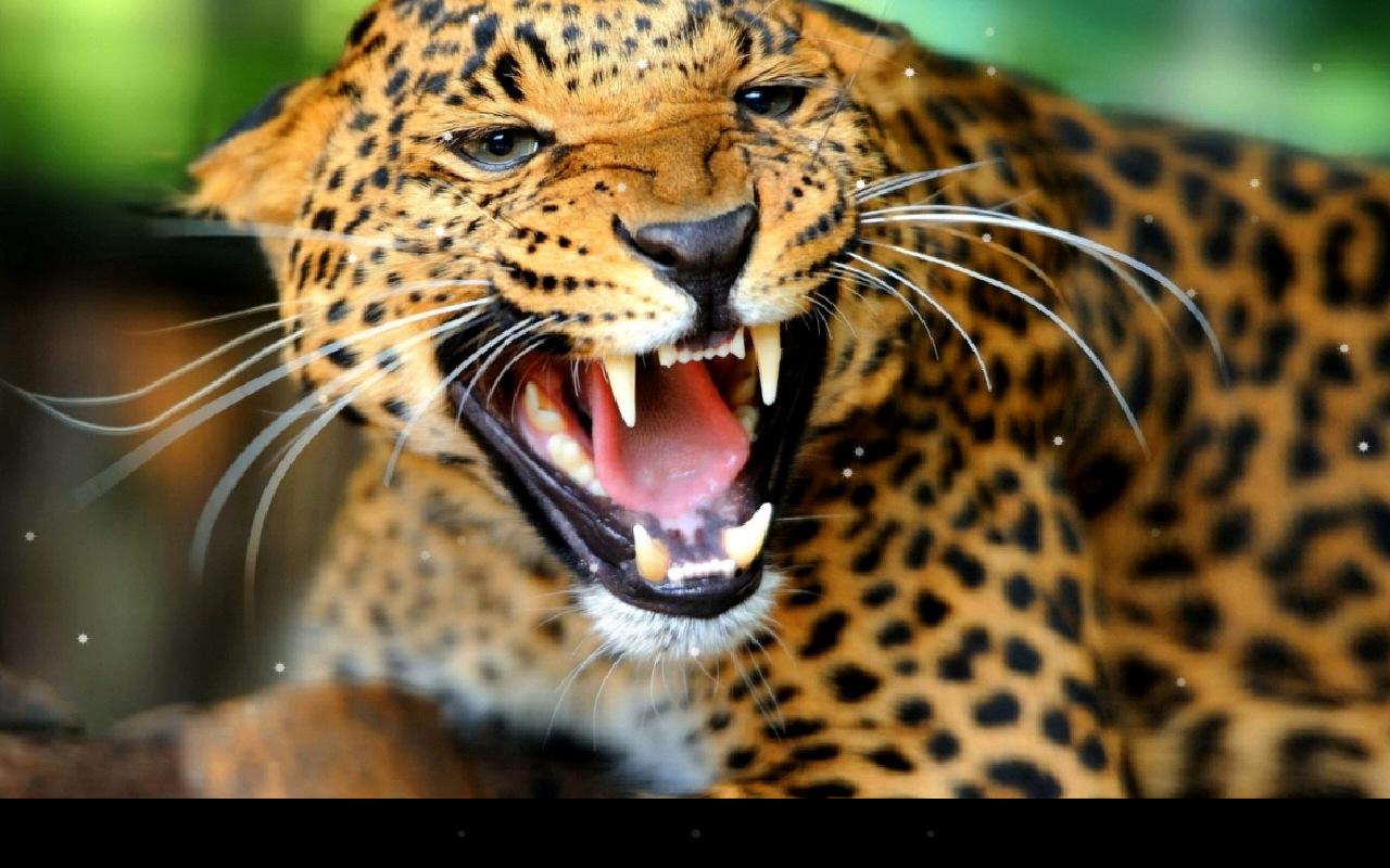 Leopard Live Wallpaper Android Apps on Google Play