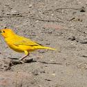 Jilguero Dorado - Saffron Finch