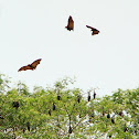 Mauritian Flying Fox