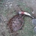 Voracious Eater (Asian Leaf Turtle)