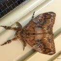Australian Tussock Moth