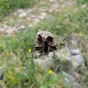Field Fennelflower, seed pods (Νιγκέλλα)