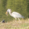 Great Blue Heron Eating Gopher