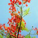 Acacia de la India