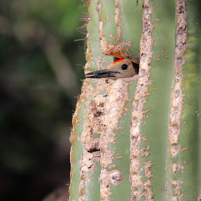Gila Woodpecker by Terry Sohl - Animals Birds ( vertical, desert, avian, nest, cavity, gila, sonoran, bird, melanerpes uropygialis, arizona, tucson, peek, woodpecker, head, saguaro, cactus, hole,  )