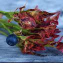 Billberry (Myrtille)