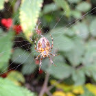 Cross orbweaver/ European garden spider