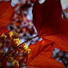 Red Maple, blossom & leaf