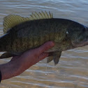 Small mouth bass