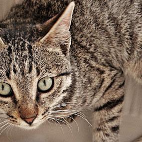 Goshu by Lalaji Anwar - Animals - Cats Playing (  )