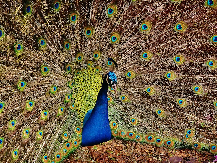 Showy Peacock by Neville Mangion - Animals Birds