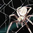 Australian Grey House Spider