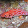Coral hawkfish (Pixy hawkfish)