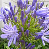 Agapanthus (purple)