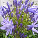 Agapanthus (purple)