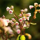 Spreading Dogbane Flowers