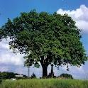 Hoe heet deze boom? icon