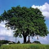 Hoe heet deze boom?
