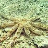 Magnificent Sea Star