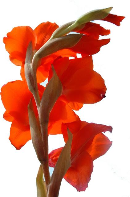 Fotos Gratis  Naturaleza - Flores - Gladiolos
