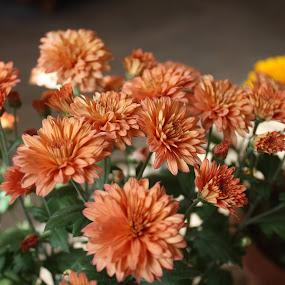 by Devol Nath - Flowers Tree Blossoms
