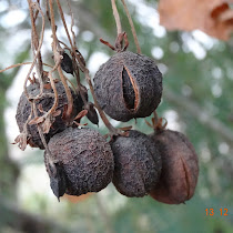 Seedpods of Indian Plants