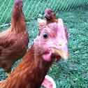 Moyer chicken