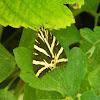 Jersey Tiger (Νυχτοπεταλούδα Panaxia)