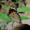 Danaid Eggfly